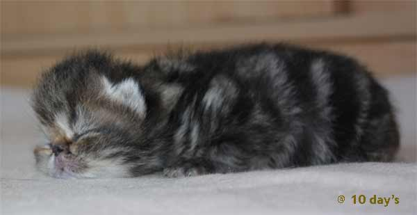 Kater 1: Brown tabby blotched, Exotic
