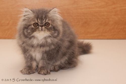 Thor van Syltin's Huis: Persian male, blue tabby blotched @ 13 weeks