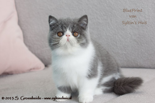BluePrint van Syltin's Huis, Exotic female @ 11 weeks