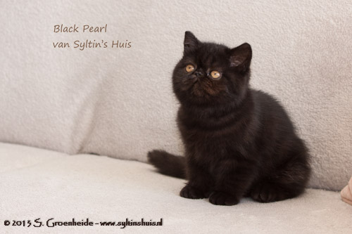 Black Pearl van Syltin's Huis, Exotic female @ 11 weeks