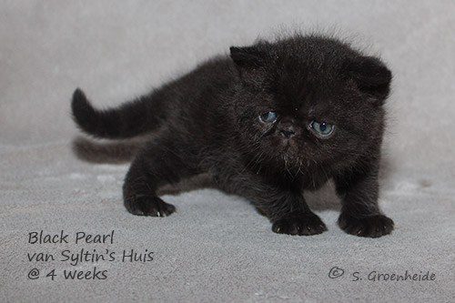 Black Pearl van Syltin's Huis: Exotic female black