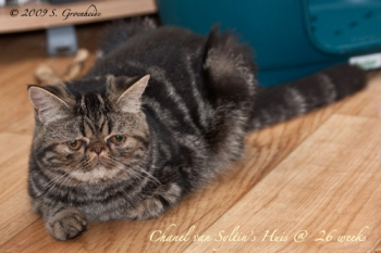 Chanel van Syltin's Huis: Exotic female, black tabby blotched